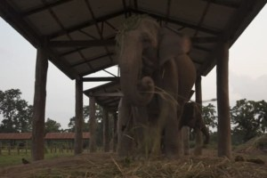 Visit elephant breeding centre in Nepal