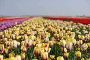 Best place to see tulips in Holland