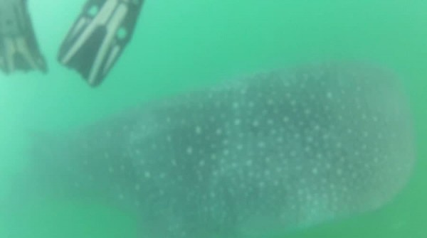 Whale Sharks in Donsol Philippines