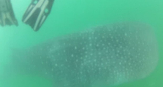 Where to go in the Philippines to see Whale Sharks