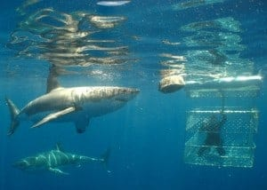 Shark Cage diving in Australia