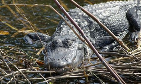 Alligator safaris in Florida