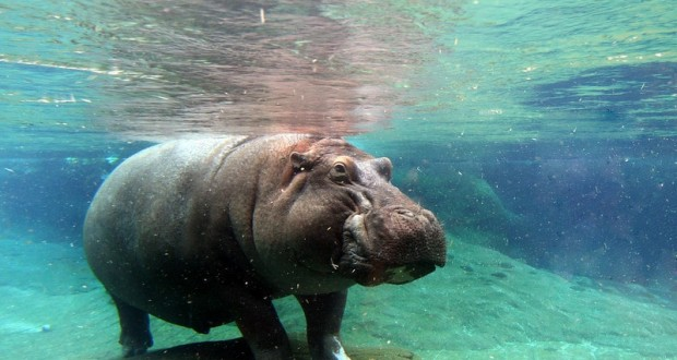 hippos at san diego zoo