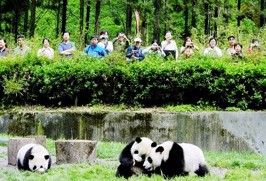 where to see Pandas in China