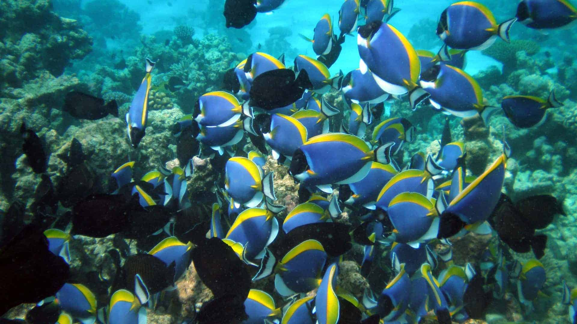Barrier reef see blue tang dory