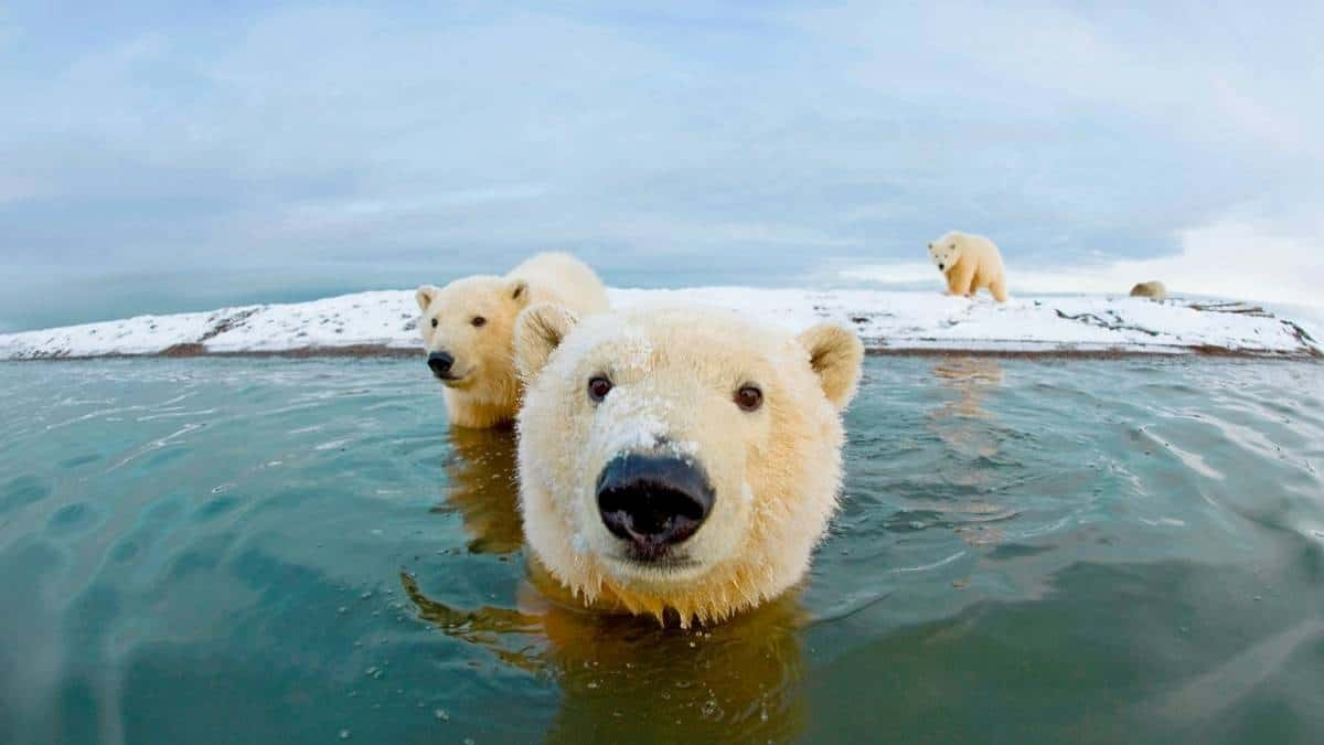 Artic polar bears
