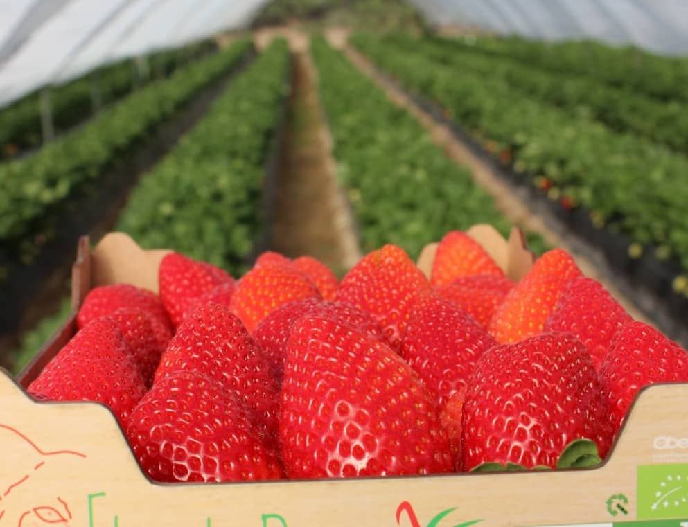 The best strawberries from Andalucia